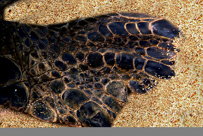 Hawai'ian Green Sea Turtle's flipper