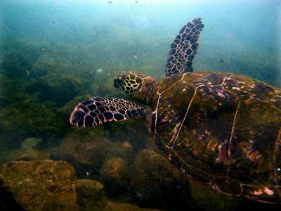 Green sea turtle swimming   The green sea turtle's Latin name is Chelonia mydas. In Hawai'i, the green sea turtle is known as Honu (pronounced hoe-new). Hawai'ian Green Sea Turtle is known by its Hawai'ian name Honu