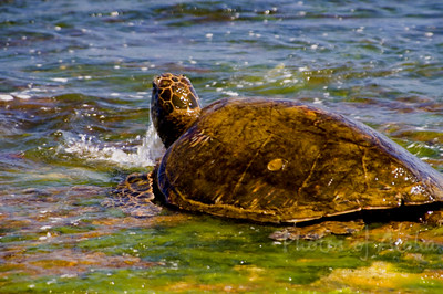 Hawai'ian Green Sea Turtle (Honu) coming up for air after eating limu at Lani's Beach on the North Shore of O'ahu  Hawai'i