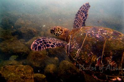 Hawai'ian Green Sea Turtle (Honu) swimming in the Ocean off Lani's Beach on the North Shore of O'ahu  Hawai'i