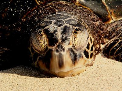 Hawaiian Green Sea Turtle Honu