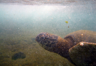 Hawai'ian Green Sea Turtle (Honu) swimming in the Ocean off Lani's Beach on the North Shore of O'ahu  Hawai'i