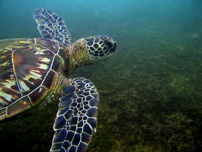 Hawai'ian Green Sea Turtle is known by its Hawai'ian name Honu