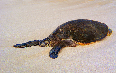 Hawaiian Green Sea Turtle Honu
