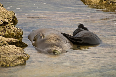 Hawai'ian Monk Seal momma and pup relaxing in the shallow water of a protected cove