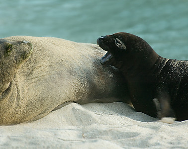 Hawai'ian Monk Seal momma and pup - who's barking to her