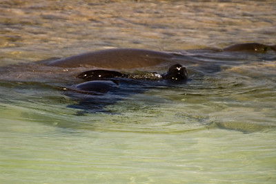 Hawai'ian Monk Seal pup in the shallow water of a protected cove