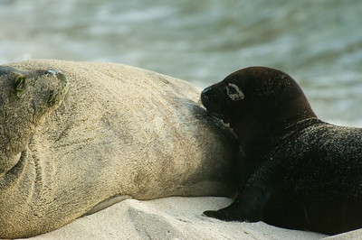 Hawai'ian Monk Seal momma with little pup looking for dinner