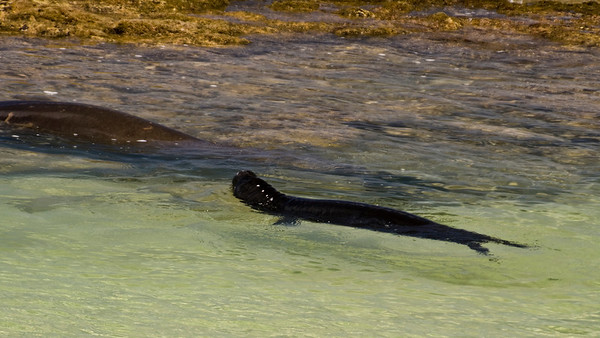 Hawai'ian Monk Seal pup - always near Momma, in the shallow water of a protected cove