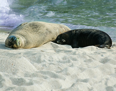 Hawai'ian Monk Seal momma and pup sleeping on the beach