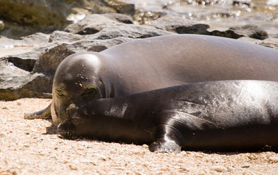 080611 150559monk seal pup