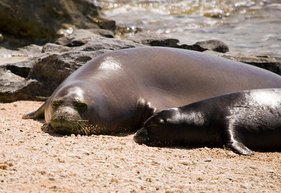 080611 150530monk seal pup
