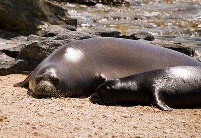 080611 150531monk seal pup