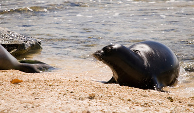080611 150503 (1)monk seal pup