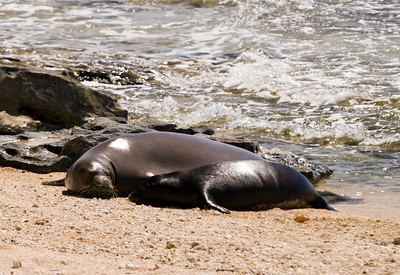 080611 150526monk seal pup