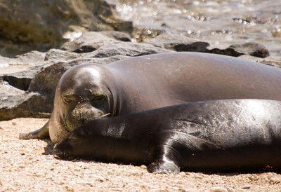 080611 150558monk seal pup