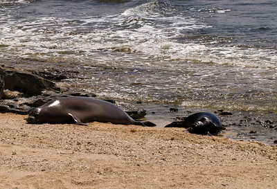 080611 150444monk seal pup