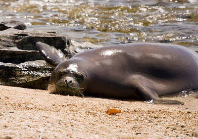 080611 150411 (1)monk seal pup