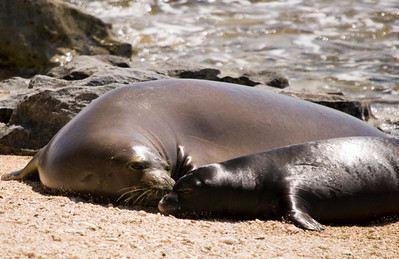080611 150529monk seal pup