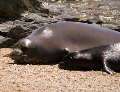 080611 150533monk seal pup