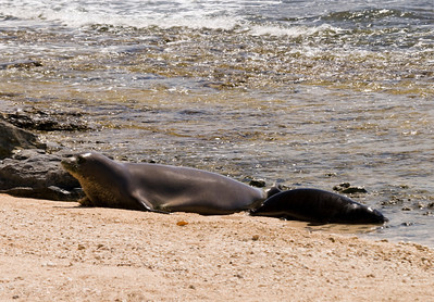 080611 150421monk seal pup