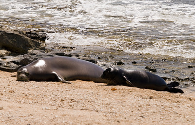 080611 150519monk seal pup