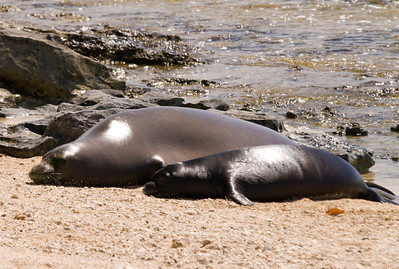 080611 150536monk seal pup