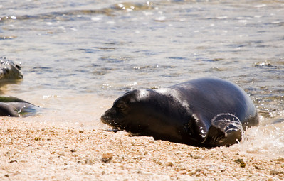 080611 150503 (2)monk seal pup