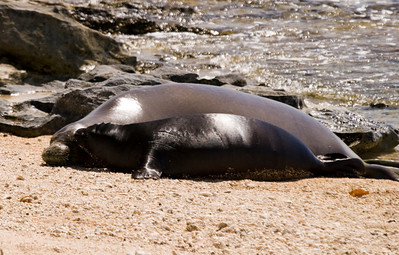 080611 150554monk seal pup