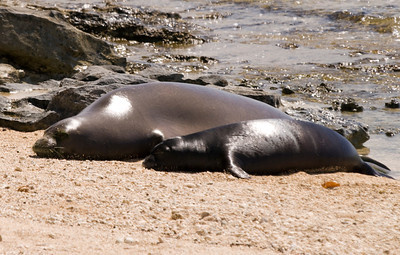 080611 150537monk seal pup