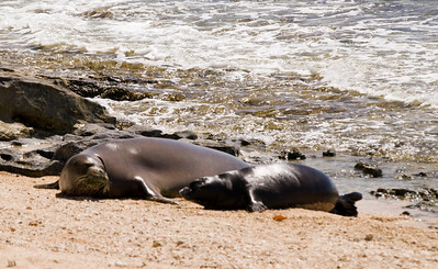 080611 150520 (2)monk seal pup