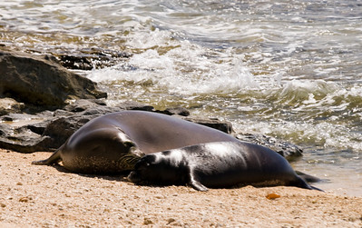 080611 150527monk seal pup