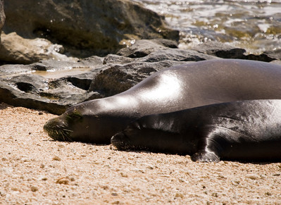 080611 150619monk seal pup