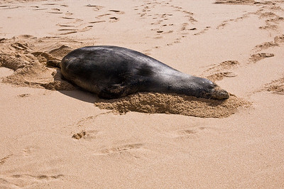 Hawai'ian Monk Seal  burrowing along in the sand, enjoying a Day at the Beach! Hawai'ian Monk Seal, Endangered SpeciesSunset Beach, North Shore of O'ahu, Hawai'i