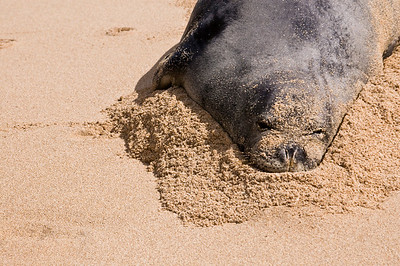 Hawai'ian Monk Seal's face covered in sand, enjoying a day at the beach! Hawai'ian Monk Seal, Endangered SpeciesSunset Beach, North Shore of O'ahu, Hawai'i