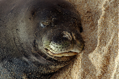 Hawai'ian Monk Seal napping in the sand in 2004 on a North Shore beach Hawai'ian Monk Seal, Endangered SpeciesSunset Beach, North Shore of O'ahu, Hawai'i