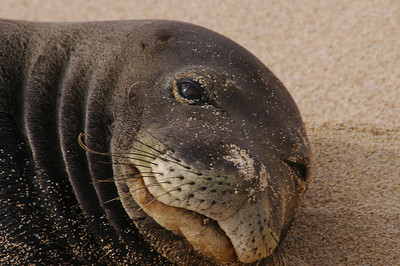 Hawai'ian Monk Seal in 2004 -  such a cute face, but don't get too close - this was taken with a long lens. Hawai'ian Monk Seal, Endangered SpeciesSunset Beach, North Shore of O'ahu, Hawai'i