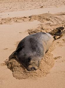 Hawai'ian Monk Seal  burrowing along in the sand, enjoying a Day at the Beach! Hawai'ian Monk Seal, Endangered SpeciesSunset Beach, North Shore of O'ahu, Hawai'i