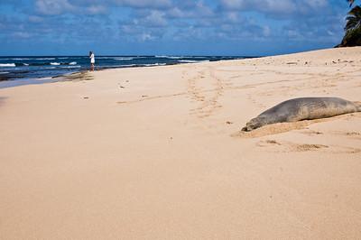 Hawai'ian Monk Sea enjoying a nap at the beach! Hawai'ian Monk Seal, Endangered SpeciesSunset Beach, North Shore of O'ahu, Hawai'i