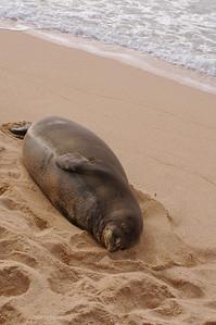 Hawai'ian Monk Sea Hawai'ian Monk Seal, Endangered SpeciesSunset Beach, North Shore of O'ahu, Hawai'i