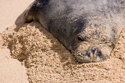 Hawai'ian Monk Seal on a pillow of sand, enjoying a day at the beach! Hawai'ian Monk Seal, Endangered SpeciesSunset Beach, North Shore of O'ahu, Hawai'i