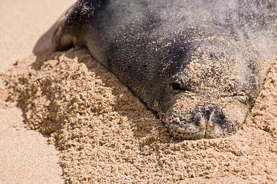 Hawai'ian Monk Seal on a pillow of sand, enjoying a day at the beach! Hawai'ian Monk Seal, Endangered SpeciesSunset Beach, North Shore of O'ahu, Hawai'i