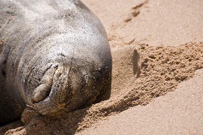 Hawai'ian Monk Seal  enjoyed a Day at the Beach! Hawai'ian Monk Seal, Endangered SpeciesSunset Beach, North Shore of O'ahu, Hawai'i