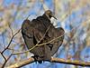 Balck Vulture