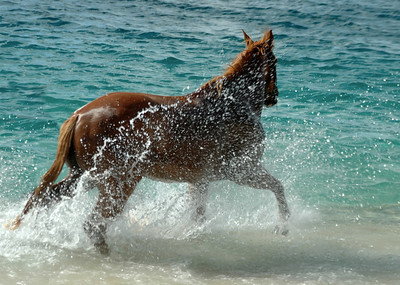 Chestnut mare in the ocean North Shore of O'ahu, Hawai'i