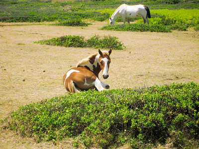 Horses along the beach in Kahuku North Shore, Oahu