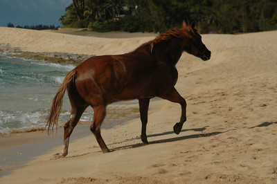 Chestnut mare running onto the beach from the ocean on the North Shore North Shore of O'ahu, Hawai'i
