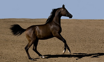 Prancing Dark Arabian yearling   Photographs taken at the Annual Scottsdale Arabian Horse Show which is held at Westworld