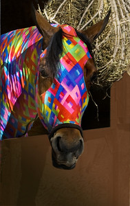 Arabian horse wearing a colorful costurme -  in a stable at the Scottsdale Arabian Horse Show -    Photographs taken at the Annual Scottsdale Arabian Horse Show which is held at Westworld
