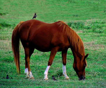 Chestnut mare munching on grass while a bird sits upon her North Shore of O'ahu, Hawai'i